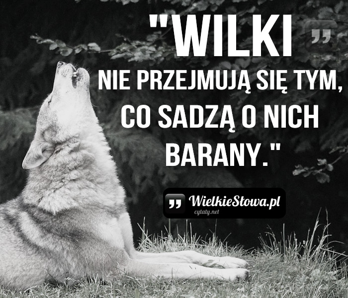 wilki-nie-przejmuja-sie-tym-co-sadza-o-nich-barany